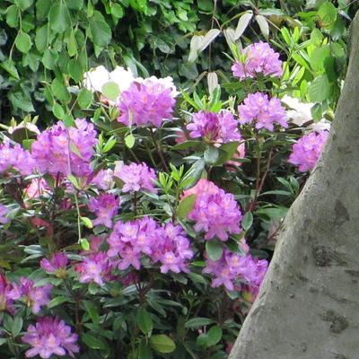 Rhododendron ponticum 'Roseum' - Rododendron
