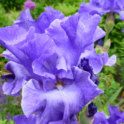 Iris germanica 'Yaquina Blue' -