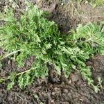 Juniperus horizontalis 'Wiltonii' - Kruipende jeneverbes - Juniperus horizontalis 'Wiltonii'