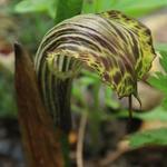 Arisaema griffithii  - Arisaema griffithii  - Nepalese cobralelie