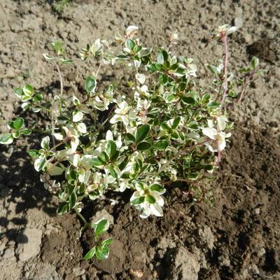 Thymus pulegioides 'Foxley'  -