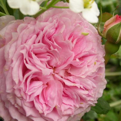 Rosa 'James Galway' -
