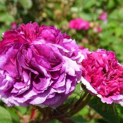 Rosa 'Russelliana' -