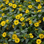 Sanvitalia procumbens - Sanvitalia procumbens - Huzarenknoop of kruipende zinnia
