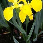 Iris pseudacorus ' Variegata' - Moerasiris,Gele lis