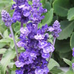 Salvia nemorosa 'Bordeau Steel Blue' - Salie