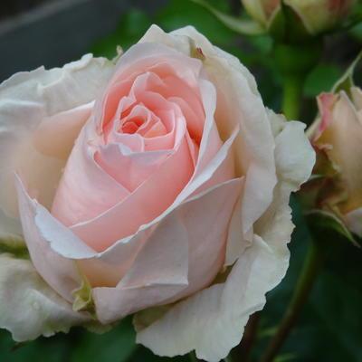Rosa 'Johann Strauss'  -