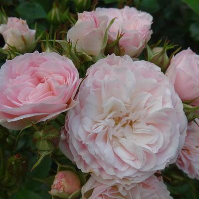 Rosa 'Bouquet Parfait' -