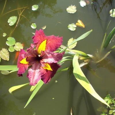 Iris 'Ann Chowning' -