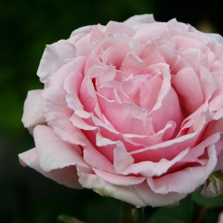 Rosa 'Frederic Mistral