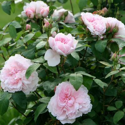 Rosa 'Barbara Austin' -