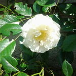 Rosa 'City of York'   - Rosa 'City of York'   - Roos, klimroos