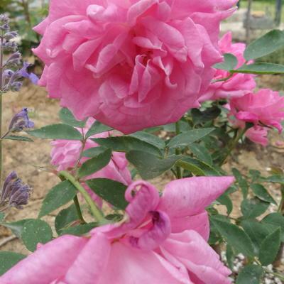 Rosa 'Reine Victoria' -