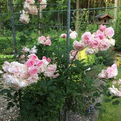 Rosa 'Felicia' -