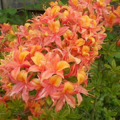 Rhododendron 'Van Houtte Flore Pleno' -