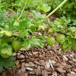 Ribes uva-crispa 'Hinnonmäki Grün' - Stekelbes, Kruisbes, Klapbes - Ribes uva-crispa 'Hinnonmäki Grün'