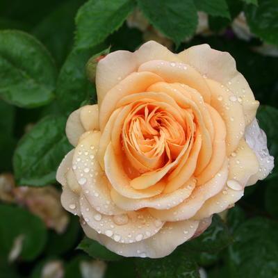 Rosa 'Leander' -