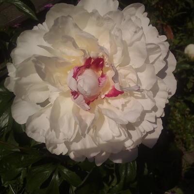 Paeonia lactiflora 'Festiva Maxima' - Pioen - Paeonia lactiflora 'Festiva Maxima'