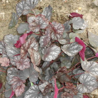 Heuchera 'Velvet Night'