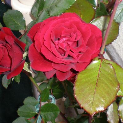 Rosa 'Pauls Scarlet Climber' -
