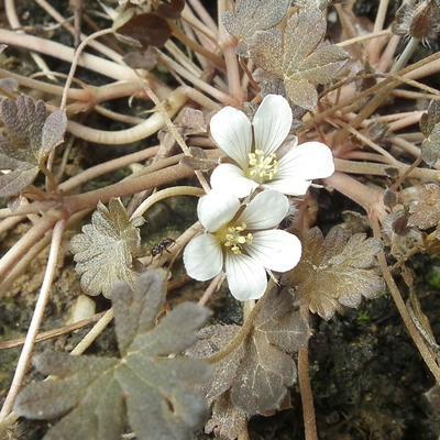 Geranium sessiliflorum 'Nigricans' -