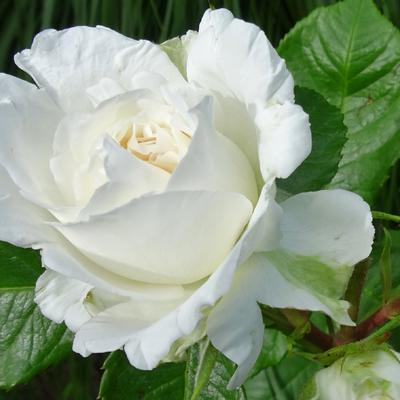 Rosa 'Annapurna' -