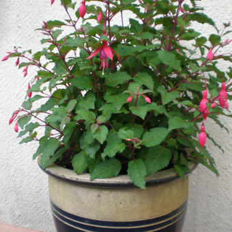Fuchsia 'Beacon'