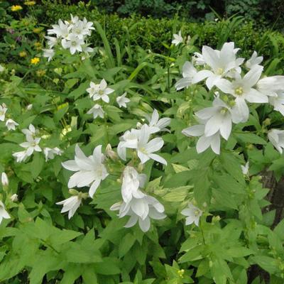 Campanula latifolia 'Alba' -