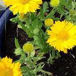 Gaillardia x  grandiflora 'MESA Yellow' - Kokardebloem - Gaillardia x  grandiflora 'MESA Yellow'