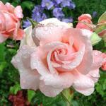 Rosa 'New Zealand'  - Roos - Rosa 'New Zealand'