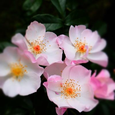 Rosa 'Xantippe' -