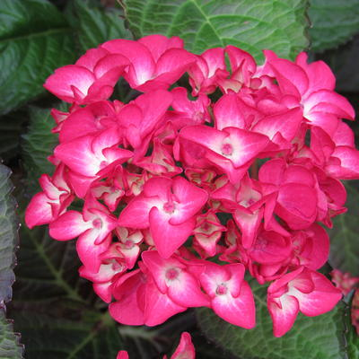 Hydrangea macrophylla 'Red Ball' -
