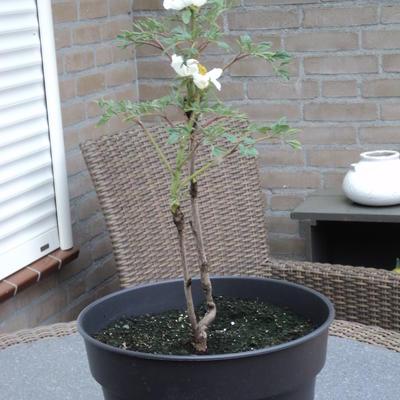 Paeonia suffruticosa 'Feng Dan Bai' -