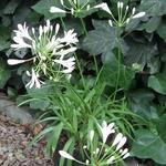 Agapanthus 'Amourette White'  - Agapanthus 'Amourette White'  - Afrikaanse lelie