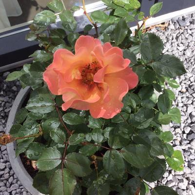 Rosa 'Persian Sun' -