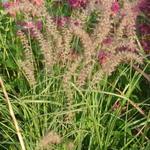 Pennisetum orientale 'Robustus' - Pennisetum orientale 'Robustus' - Lampenpoetsersgras