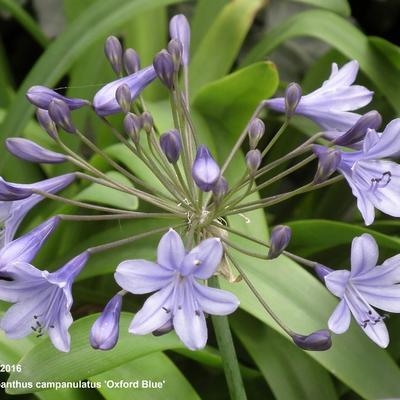Agapanthus campanulatus 'Oxford Blue' -