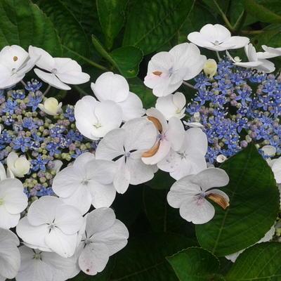 Hydrangea macrophylla 'Elster' -