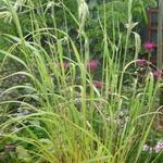 Calamagrostis emodensis - Calamagrostis emodensis - Nepalees struisriet