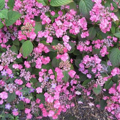 Hydrangea macrophylla 'Santiago' -