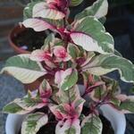Fuchsia triphylla 'Firecracker' - Fuchsia triphylla 'Firecracker' - Bellenplant