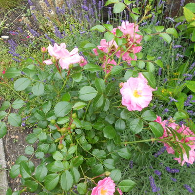 Rosa polyantha 'Pink The Fairy'   -