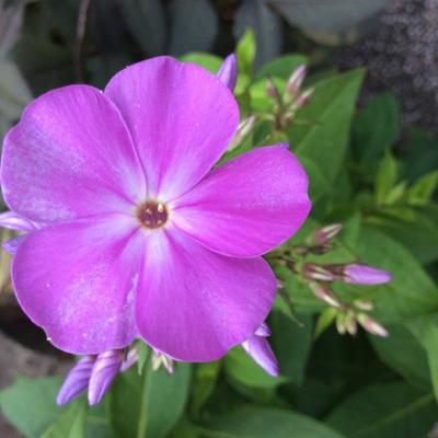 Phlox paniculata 'Eden's Smile' -