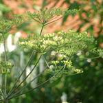 Peucedanum verticillare - Peucedanum verticillare - Varkenskervel
