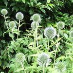 Eryngium giganteum 'Silver Ghost' - Kruisdistel - Eryngium giganteum 'Silver Ghost'