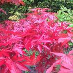 Acer palmatum 'Pixie' - Acer palmatum 'Pixie' - Japanse esdoorn