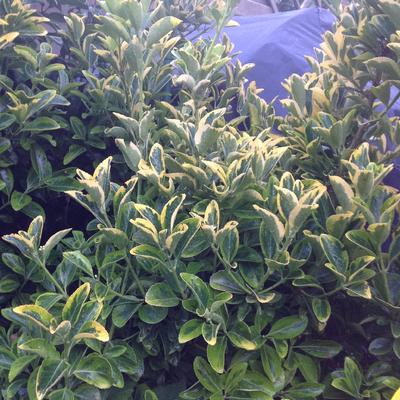 Euonymus japonicus 'Aureus'  -
