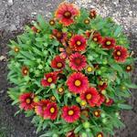 Gaillardia x grandiflora 'Arizona Red Shades' - Gaillardia x grandiflora 'Arizona Red Shades' - Kokardebloem