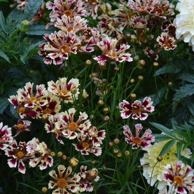 Coreopsis 'Ruby Frost' -