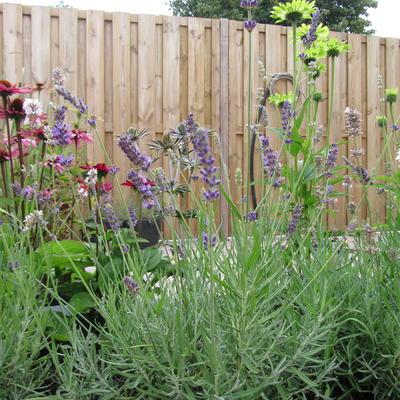 Lavandula angustifolia 'Elizabeth' -